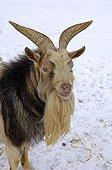 Domestic goat, Capra hircus, old male