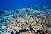 Coralreef covered with Mushroom soft corals, Sarcophyton trochelioporum, Philippines, Pacific Ocean