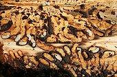 Bark beetle larva into a tree