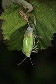 Green stink bug making its moult