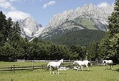 Lipizzaner horses on a meadow in front of the Wilden Kaiser Mountains in Going, Tyrol, Austria, Europe