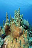 Pillar corals (Dendrogyra cylindricus), coral reef, barrier reef, San Pedro, Ambergris Cay Island, Belize, Central America, Caribbean