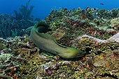 Green Moray (Gymnothorax funebris), an eel, searching every crevice in a coral reef for prey, also Halimeda Algae (Halimeda sp.), barrier reef, San Pedro, Ambergris Cay Island, Belize, Central America, Caribbean