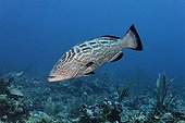 Black Grouper fish (Mycteroperca bonaci) swimming over a coral reef in search of prey, barrier reef, San Pedro, Ambergris Cay Island, Belize, Central America, Caribbean