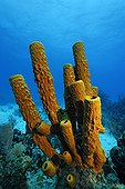 Large, branched Sponge in front of a coral reef