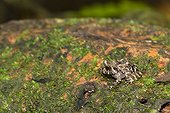 Amphibian in the PN Corcovado in Costa Rica