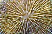 Fungus Coral (Fungia sp.), Indonesia, South East Asia