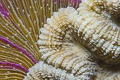 Brain Coral (Platygyra daedalea) and Fungus Coral (Fungia sp ; Brain Coral (Platygyra daedalea) and Fungus Coral (Fungia sp.)