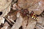 Cuckoo bee (Nomada spec.)