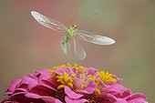 Green Lacewing (Chrysoperla carnea), insect, Saxony-Anhalt, Germany