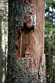 Dead spruce (Picea) through infestation of bark beetles (Scolytinae) in the Black Forest, Baden-Wuerttemberg, Germany, Europe