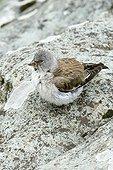 White-winged Snowfinch (Montifringilla nivalis), Hohe Tauern National Park, Carinthia, Austria, Europe