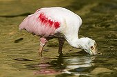 Roseate Spoonbille foraging in the water