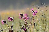 Red lampflower meadow in early morning with dewdrops