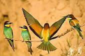 Two couple of Bee-eaters perching on branch in loess cliff