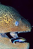 Undulated Moray Eel or Leopard Moray (Gymnothorax undulatus) with cleaner wrasse, Red Sea