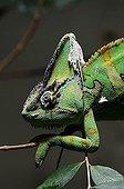 Veiled Chameleon or Yemen Chameleon (Chamaeleo calyptratus)