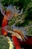 Red Tube Worm, Calcereous Tubeworm (Serpula vermicularis), Mediterranean Sea