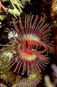 The Red Tube Worm (Serpula vermicularis), Mediterranean Sea