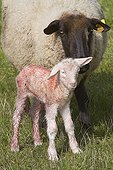 Ewe and lamb newborn in a meadow Lorraine France  ; A few minutes after birth