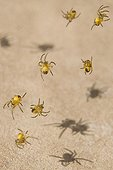 Young spiders in a web community France