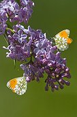 Orange tips foraging on lilac flowers Ardeche France