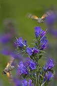 Olive Bee Hawk moth gathering nectar from blueweed France