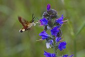 Broad-bordered Bee Hawk Moth from blueweed France