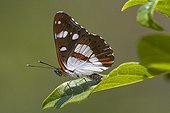 Southern White Admiral on Strawberry Tree Massif des Maures