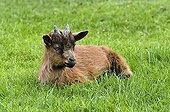 Domestic goat (4 months old) / Capra aegagrus f. hircus