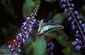 Common Bluebottle ( Graphium sarpedon ) Malaysia