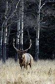 Bull elk near the forest Minnewanka Banff NP Canada