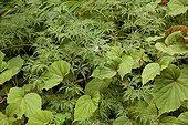 Feuillage d'Erable palmé 'Filigree' et Bégonia au jardin