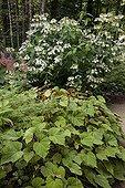 Feuillage d'Erable palmé 'Filigree' et Bégonia au jardin ; Au fond: Hortensia 'Professeur Lida'