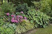 Hortensia 'L K 49' et Bégonia en bordure de jardin ; Et Troène du Japon 'Rotondifolium'