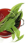 Ramson (Allium ursinum) in a kitchen sieve
