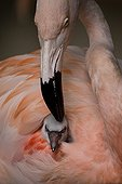 Chilean Flamingo (Phoenicopterus chilensis) chick burrowed into its parent's plumage, Luisenpark, Mannheim, Baden-Wuerttemberg, Germany, Europe