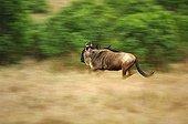 White-bearded Gnu (Connochaetes taurinus albojubatus) fleeing, Masai Mara, Kenya, Africa