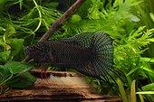 Macropode noir mâle Aquarium d'eau douce tropicale