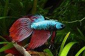 Combattant 'Red Dragon'  Aquarium d'eau douce tropicale