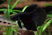 Combattant forme noire  Aquarium d'eau douce tropicale