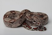Boa Constrictor Imperator on white background
