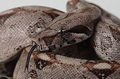 Portrait of Boa Constrictor Imperator on white background