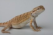 Bearded Dragon on white background