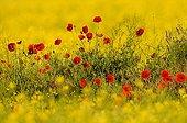 Poppies in rape field Dobruja Romania