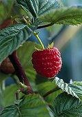 Raspberry in a kitchen garden