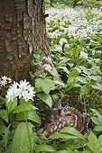 European Roe Deer (Capreolus capreolus) fawn in wild garlic