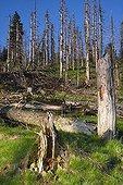 Sedges grass with deadwood, Bavarian Forest National Park, Bavaria, Germany, Europe
