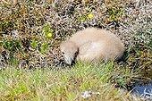 Great Skua (Stercorarius skua) chick, Fair Isle, Shetland, United Kingdom, Europe