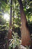 Temperate rainforest, UNESCO World Natural Heritage Site, Fraser Island, Great Sandy National Park, Queensland, Australia